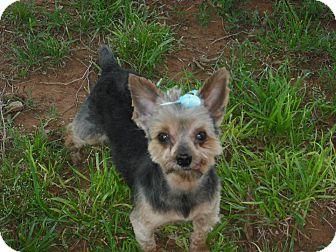 Yorkie, Yorkshire Terrier Dog for adoption in Carnegie, Oklahoma - Landon