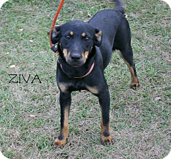 Miniature Pinscher Mix Puppy for adoption in Stow, Maine - Ziva