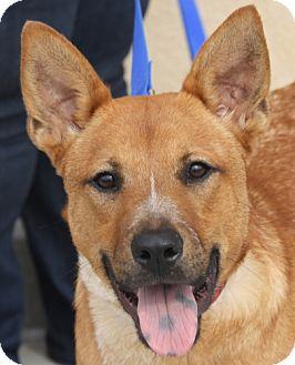 Shiba Inu/Basenji Mix Dog for adoption in Atlanta, Georgia - Clancy