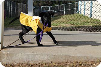 Labrador Retriever Mix Puppy for adoption in Albany, Georgia - Tucker
