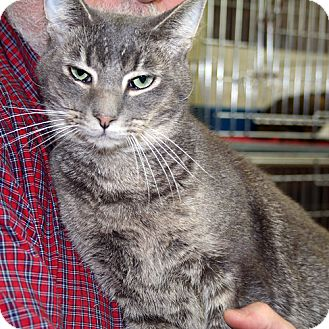 Domestic Shorthair Cat for adoption in Asheville, North Carolina - Schneider