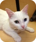 Domestic Shorthair Cat for adoption in Modesto, California - Lily