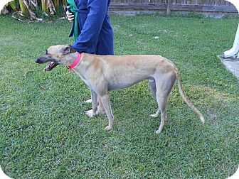 Greyhound Dog for adoption in Vidor, Texas - Ronnie