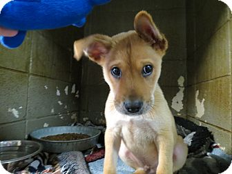 Shepherd (Unknown Type) Mix Puppy for adoption in Henderson, North Carolina - BOO-BOO
