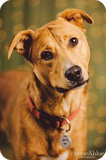 German Shepherd Dog/Golden Retriever Mix Dog for adoption in Portland, Oregon - Tom