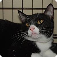 Domestic Shorthair Cat for adoption in Houston, Texas - Myron