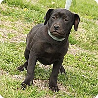 Adopt A Pet :: Shadow $300 adoption fee - Staunton, VA