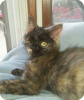 Domestic Mediumhair Kitten for adoption in Cleveland, Ohio - Ember