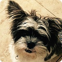 Adopt A Pet :: TyTy - Los Angeles, CA