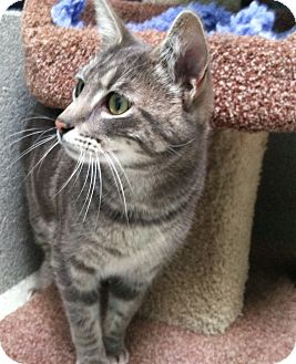 Domestic Shorthair Cat for adoption in Newport Beach, California - Littles
