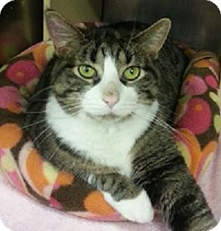 Domestic Shorthair Cat for adoption in Hillside, Illinois - Missy