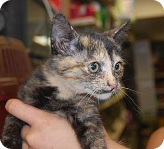Domestic Shorthair Kitten for adoption in Brooklyn, New York - Smudge