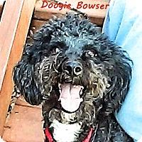 Adopt A Pet :: Doogie Bowser - Franklinton, NC