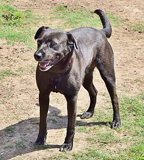 Labrador Retriever/Terrier (Unknown Type, Medium) Mix Dog for adoption in Iola, Texas - Bolt