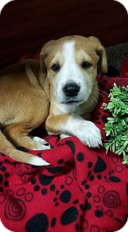 Shepherd (Unknown Type) Mix Puppy for adoption in Plainfield, Illinois - Clover