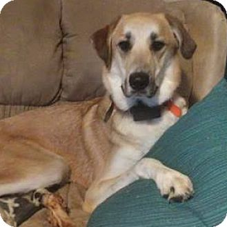 Labrador Retriever/Great Pyrenees Mix Dog for adoption in Westfield, New York - Dozer