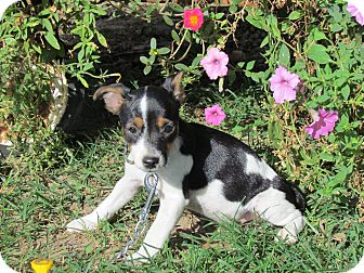 Feist/Terrier (Unknown Type, Small) Mix Puppy for adoption in Newburgh, New York - TINKER