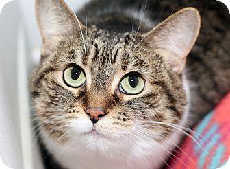 Domestic Shorthair Cat for adoption in Royal Oak, Michigan - JINGLES