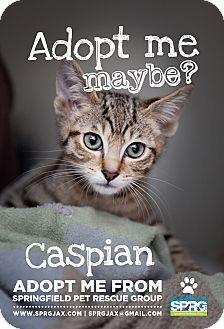 Domestic Shorthair Kitten for adoption in Jacksonville, Florida - Caspian