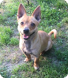 Corgi Mix Dog for adoption in Va Beach, Virginia - Cupcake