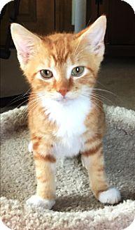 Domestic Shorthair Kitten for adoption in Lebanon, Pennsylvania - Oscar