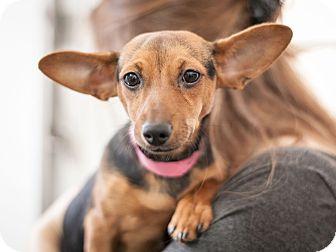 Chihuahua/Dachshund Mix Puppy for adoption in Dallas, Texas - Lulu
