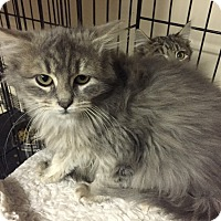 Adopt A Pet :: Prince - Forest Hills, NY