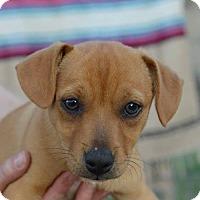Adopt A Pet :: Nina W - Olympia, WA