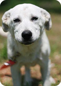 Labrador Retriever/Great Pyrenees Mix Puppy for adoption in Attalla, Alabama - Snow