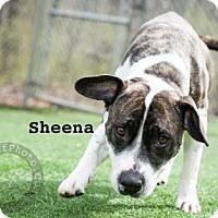 Adopt A Pet :: Sheena - Kansas City, MO