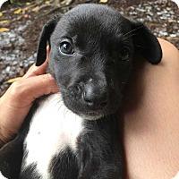 Adopt A Pet :: Eleven - MCLEAN, VA