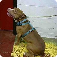 Pit Bull Terrier Dog for adoption in Atlanta, Georgia - PETEY