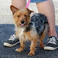Adopt A Pet :: Loki - Liberty Center, OH