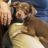 Adopt A Pet :: Koda - Visalia, CA