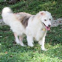 Adopt A Pet :: Primo - House Springs, MO