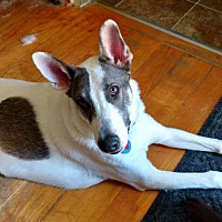 German Shepherd Dog Mix Dog for adoption in Spring City, Tennessee - Jekyll:Gorgeous and SMART (NJ)