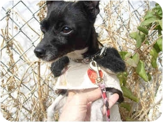 Chihuahua Dog for adoption in anywhere in CA, California - Little D