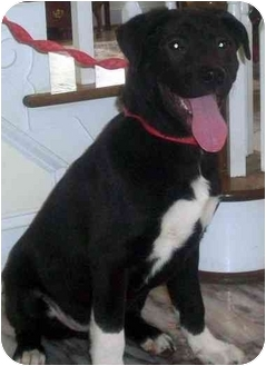 Labrador Retriever Mix Puppy for adoption in Chapel Hill, North Carolina - Huey