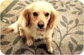 Golden Retriever/Spaniel (Unknown Type) Mix Dog for adoption in Westampton, New Jersey - Scooby-PERFECT