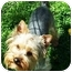 Photo 1 - Yorkie, Yorkshire Terrier Dog for adoption in Kokomo, Indiana - Jackson