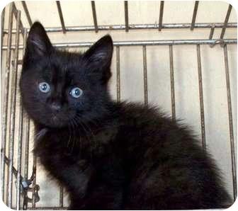 Domestic Shorthair Kitten for adoption in Sullivan, Missouri - Hero