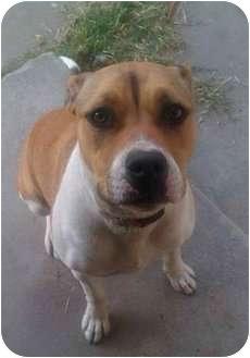 Boxer/American Pit Bull Terrier Mix Dog for adoption in Bellflower, California - Stella