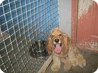 Cocker Spaniel Mix Dog for adoption in Elliot Lake, Ontario - Brandy