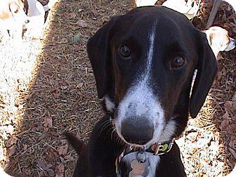 Border Collie/Hound (Unknown Type) Mix Dog for adoption in richmond, Virginia - Blair