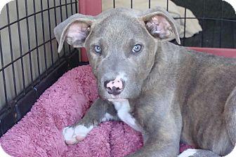 Labrador Retriever/Pointer Mix Puppy for adoption in Tustin, California - Zeus