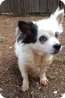 Chihuahua Dog for adoption in Richmond, Virginia - Evie