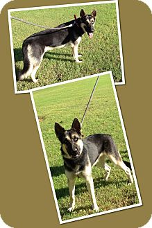 German Shepherd Dog/Siberian Husky Mix Dog for adoption in Scottsdale, Arizona - Aladdin