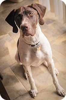 German Shorthaired Pointer Dog for adoption in Streetsboro, Ohio - Gauge