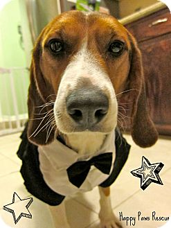 Beagle Dog for adoption in South Plainfield, New Jersey - Neil Patrick Harris