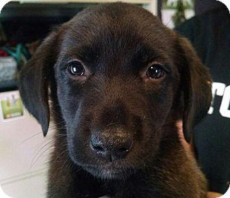 Labrador Retriever/Border Collie Mix Puppy for adoption in Colorado Springs, Colorado - Lab Puppy 1.8